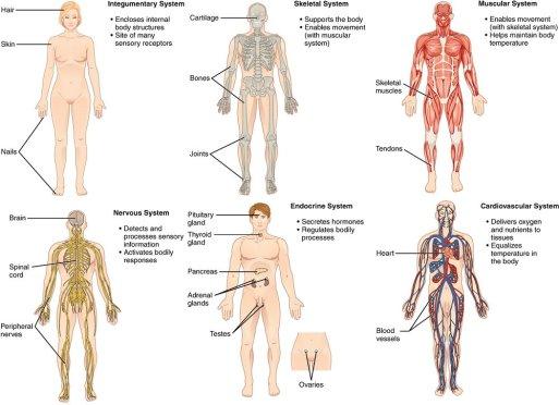 Organ-Systems