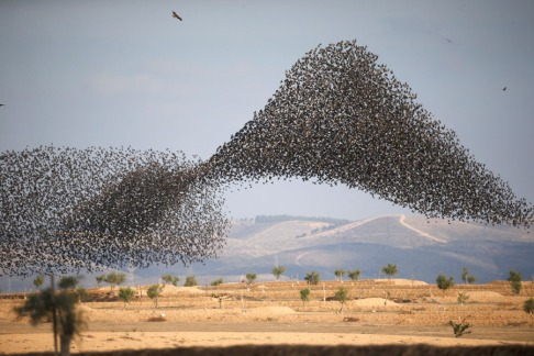 A murmuration of migrating starlings is seen across the sky near the village of Beit Kama